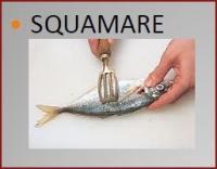 squamare
